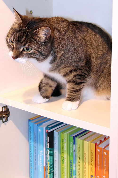 cat on bookshelf