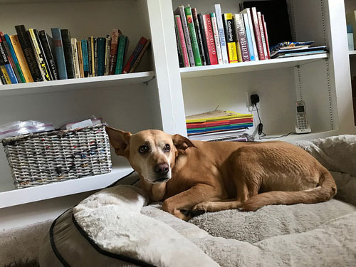 dog and bookshelves