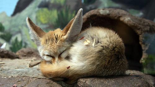 fox, Birmingham Zoo